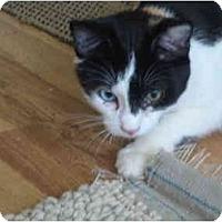 Adopt A Pet :: Munchkin - Amarillo, TX
