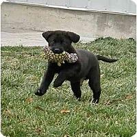 Adopt A Pet :: Brodie - Meridian, ID