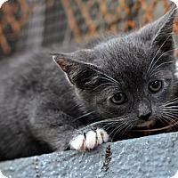 Adopt A Pet :: Katmandu - Brooklyn, NY