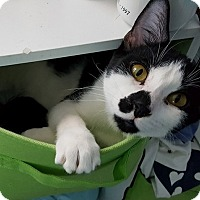 Domestic Shorthair Cat for adoption in Palatine, Illinois - Clooney