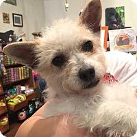 Adopt A Pet :: Velma-ADOPTION PENDING - Boulder, CO