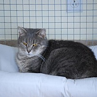Domestic Shorthair Cat for adoption in Trevose, Pennsylvania - Betsy