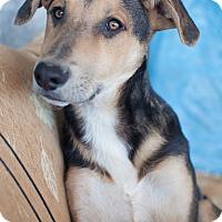 Adopt A Pet :: Atticus - Iran Pup - Encino, CA