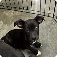 Adopt A Pet :: Dirty Diana - Christiana, TN