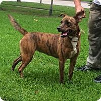 Catahoula Leopard Dog Mix Dog for adoption in Slidell, Louisiana - Amberly