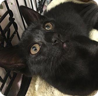 Domestic Shorthair Kitten for adoption in Furlong, Pennsylvania - Josh