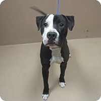 American Pit Bull Terrier Mix Dog for adoption in Reno, Nevada - CHARLIE