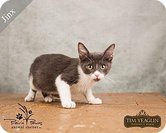 Domestic Mediumhair Cat for adoption in Ottawa, Kansas - Jinx