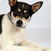 Adopt A Pet :: Jack RT - St. Louis, MO