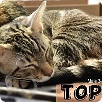 American Shorthair Kitten for adoption in Jersey City, New Jersey - Topaz
