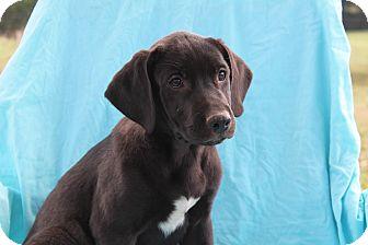 Mastiff/Labrador Retriever Mix Puppy for adoption in Hagerstown, Maryland - Larry (adoption pending)