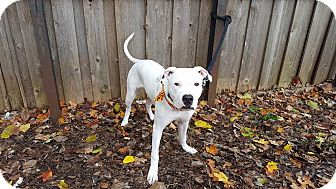 American Bulldog/Pit Bull Terrier Mix Puppy for adoption in Frankfort, Illinois - Alfredo