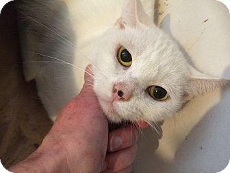 Domestic Shorthair Cat for adoption in Burlington, Ontario - Dottie