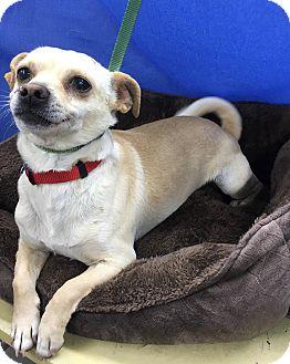 Chihuahua Mix Dog for adoption in Lexington, Kentucky - Slash