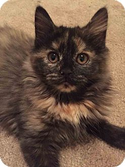 Domestic Shorthair Kitten for adoption in Gaithersburg, Maryland - Tequila