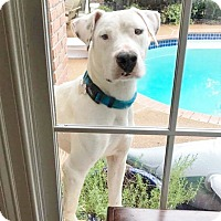 Labrador Retriever/Foxhound Mix Dog for adoption in Schaumburg, Illinois - AUSTIN