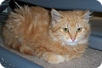 Domestic Shorthair Cat for adoption in St. Louis, Missouri - Pedro