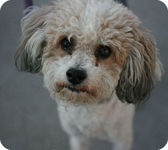 Yorkie, Yorkshire Terrier/Poodle (Miniature) Mix Dog for adoption in Canoga Park, California - Keller-Yorkipoo!