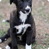 Adopt A Pet :: Annabelle - Sarasota, FL