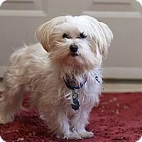 Adopt A Pet :: Mr. Chips - Rigaud, QC
