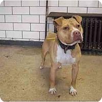 Adopt A Pet :: Caleb - Chicago, IL