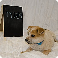 Adopt A Pet :: Tydis - Westminster, CO