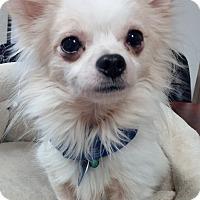Adopt A Pet :: Mopsy Mojo - AUSTIN, TX