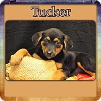 Adopt A Pet :: Tucker 1 meet me 11/20 - East Hartford, CT