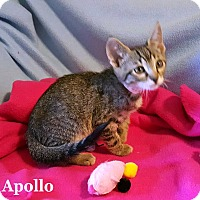 Adopt A Pet :: Apollo - Bentonville, AR