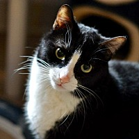 Domestic Shorthair Cat for adoption in Hanna City, Illinois - Ace