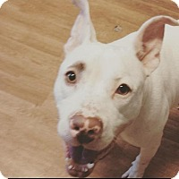 American Bulldog/Boxer Mix Dog for adoption in Manchester, New Hampshire - Huey