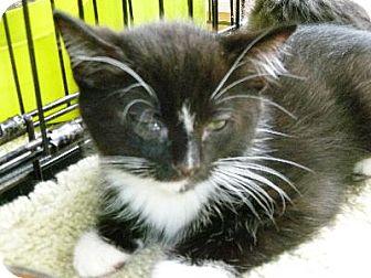 Domestic Shorthair Cat for adoption in Half Moon Bay, California - Cowboy