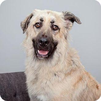 Anatolian Shepherd Mix Dog for adoption in Mission Hills, California - Smokey Robinson