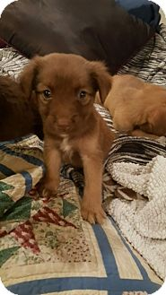 Lancashire Heeler/Collie Mix Puppy for adoption in Stamford, Connecticut - Ziggy MARLEY