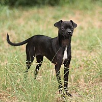 Whippet/Chihuahua Mix Dog for adoption in San Antonio, Texas - MANNY