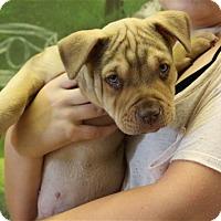Adopt A Pet :: Maclaine - Elyria, OH