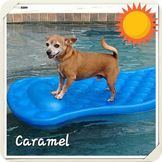 Chihuahua Mix Dog for adoption in Arcadia, Florida - Caramel