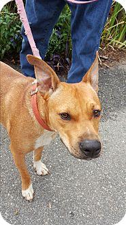Cattle Dog/Ibizan Hound Mix Dog for adoption in Allentown, New Jersey - Allegra