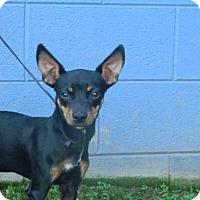 Chihuahua Dog for adoption in Randleman, North Carolina - Twitter