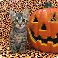 Domestic Shorthair Kitten for adoption in Hollywood, Florida - Lilly