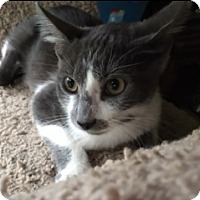 Domestic Shorthair Cat for adoption in Kennedale, Texas - Apollo