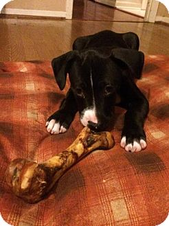 Pit Bull Terrier Mix Puppy for adoption in Dallas, Texas - Phoenix III