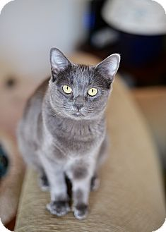 Russian Blue Cat for adoption in Los Angeles, California - Sasha