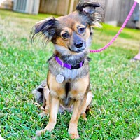 Papillon Mix Dog for adoption in Santa Fe, Texas - Winter