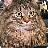 Adopt A Pet :: Samson - Woodhaven, MI