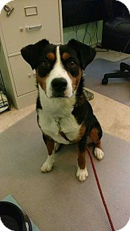 Greater Swiss Mountain Dog Mix Dog for adoption in MCLEAN, Virginia - Erin