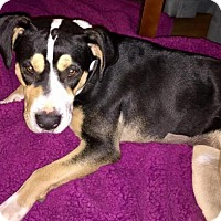 Adopt A Pet :: Lottie Dottie - Houston, TX