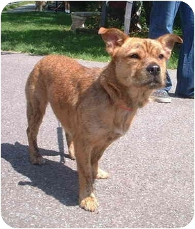 yorkie mix with pitbull waffles adopted dog 6050 honesdale pa pit bull 6904