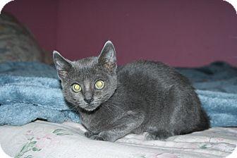Domestic Shorthair Kitten for adoption in Santa Rosa, California - Mya