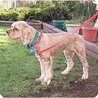 Adopt A Pet :: Tyson - Tacoma, WA